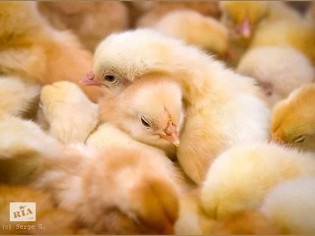 бу Цыплята бройлеры в Новых Санжарах