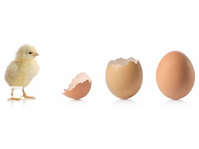 бу Цыплята суточные в Новых Санжарах