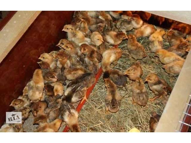Цыплята даром!!: Другие животные в Симферополе на RIA