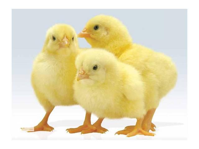 """продам Цыплята суточные, подрощенные, куры живым весом мясной породы """"КОББ 500"""". Оптом. бу в Чернобае"""