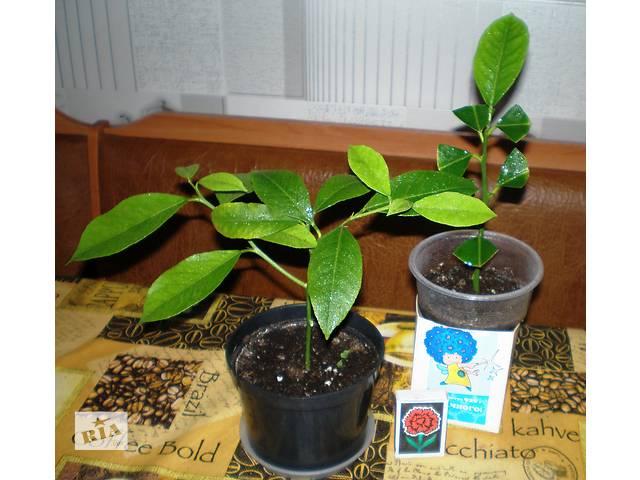 цитрусовые растения- объявление о продаже  в Днепре (Днепропетровск)