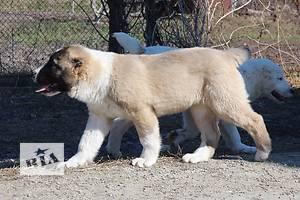 Туркменский волкодав, Алабай, Среднеазиатская овчарка