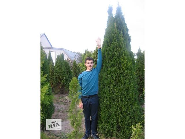 купить бу Туя Смарагд h 300 в Киеве