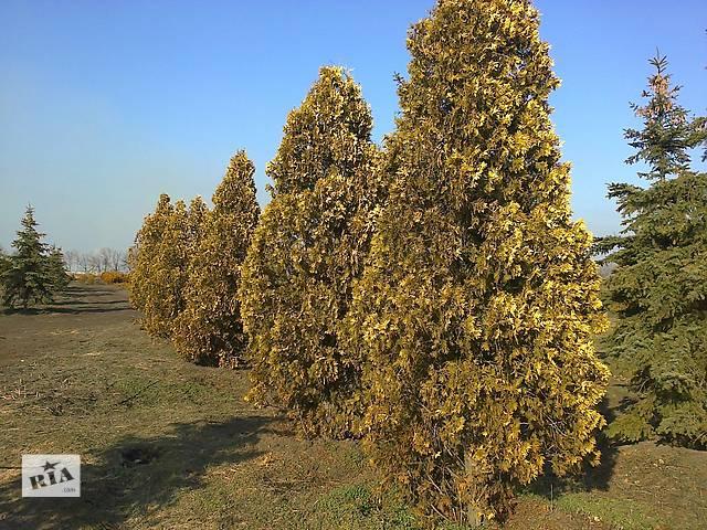 Туя западная Yellow Ribbon 5м.- объявление о продаже  в Днепре (Днепропетровске)