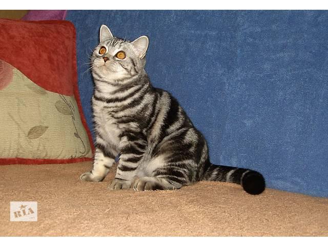 купить бу Упитанный и воспитанный:) Британский котик в Запорожье