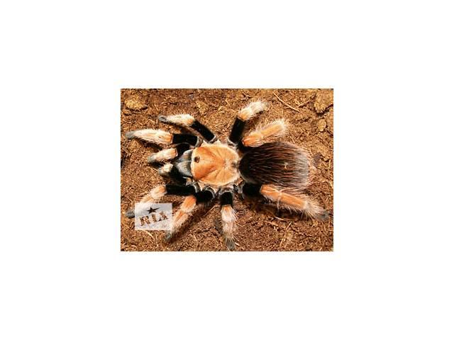 продам В продаже скорпионы и пауки. Продам террариум для содержания пауков и других членистоногих. бу в Киеве