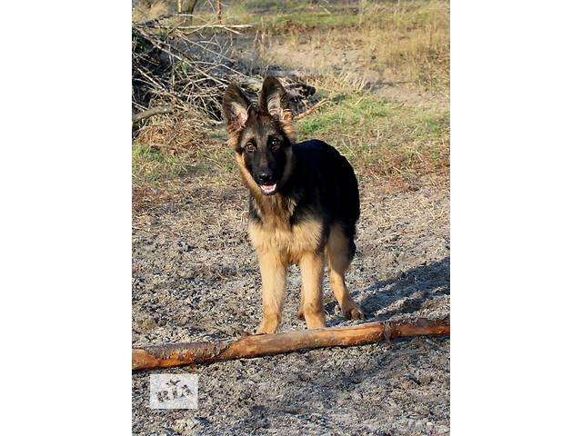 Великолепные щенки немецкой овчарки от сына Чемпиона Мира!- объявление о продаже  в Днепре (Днепропетровске)
