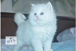 Чудовий білий сибірський котик
