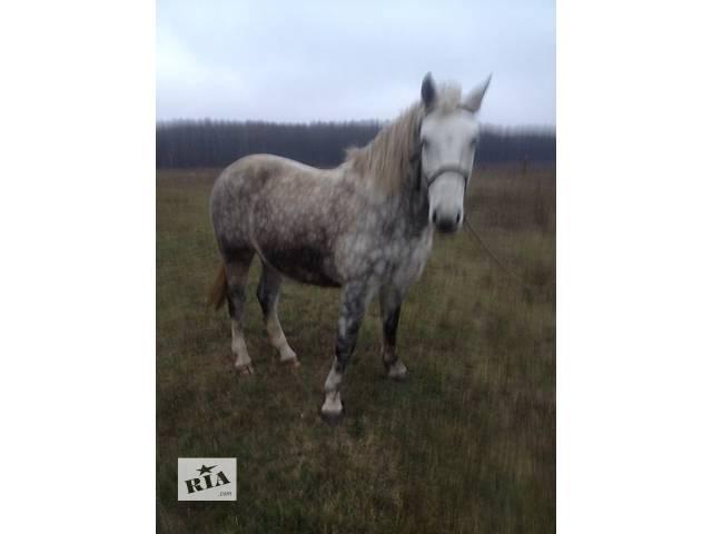 купить бу Продам коней ( кінь, жеребець) в Ровно