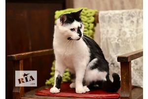 Веселый котик Вундеркинд окраса биколор арлекин.