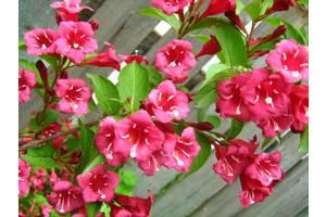Цветущие кустарники