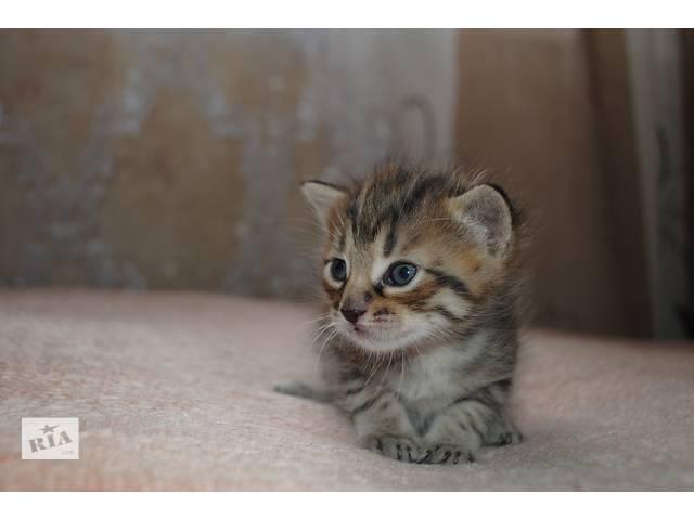 Отдадим котят в хорошие руки- объявление о продаже  в Виннице