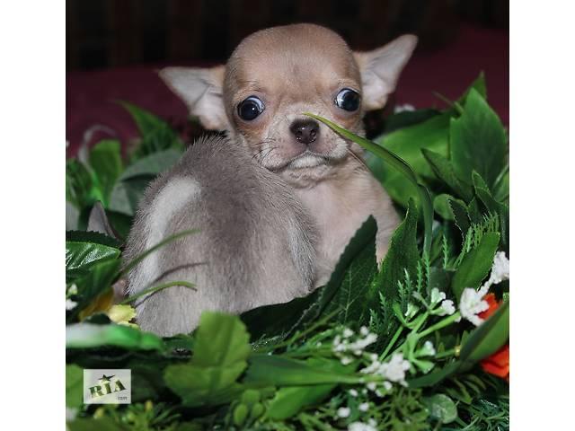бу VIP щенки чихуахуа в Днепре (Днепропетровске)