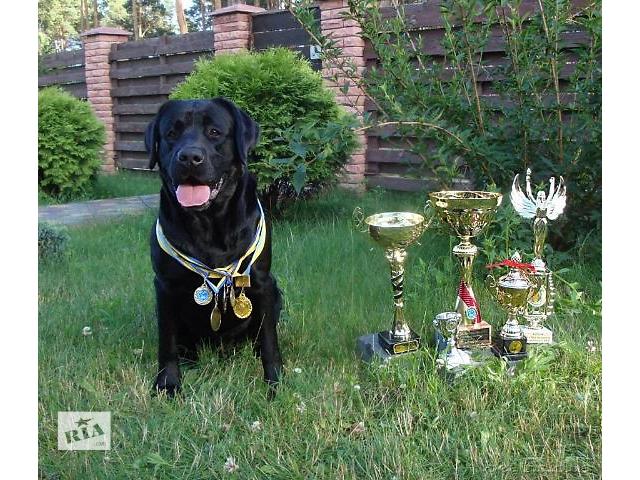 Вязка - опытный племенной титулованный лабрадор ретривер!- объявление о продаже  в Киеве