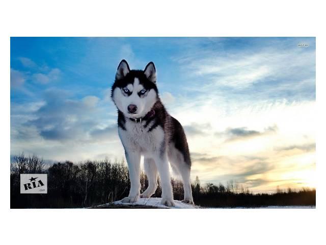 купить бу Выгуливаю собак в Днепре (Днепропетровск)