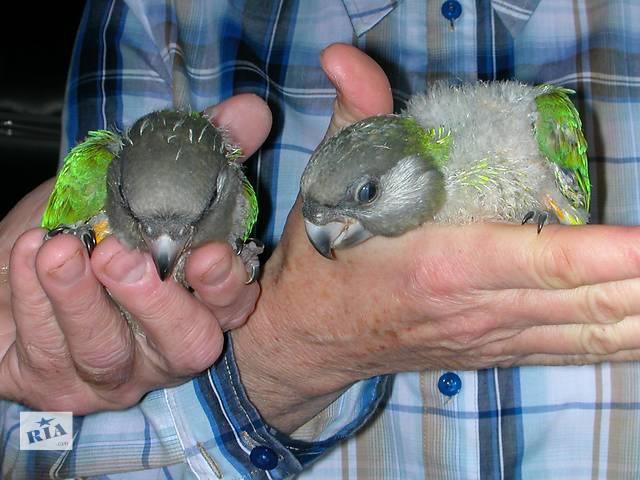 продам Выкормыши сенегальского попугая бу в Запорожье