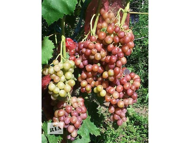 купить бу Саженцы винограда привитые и корнесобственные. в Николаеве