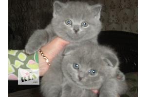 Вислоухие британские котята разных окрасов для вас!