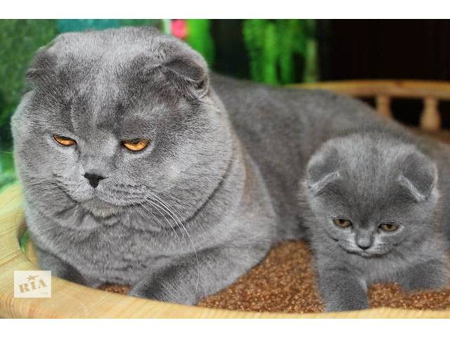 Вислоухие котята в Донецке.- объявление о продаже  в Донецке