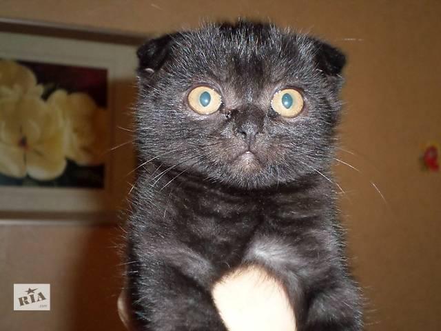 бу Вислоухие, мраморные, шотландские котята в Киеве