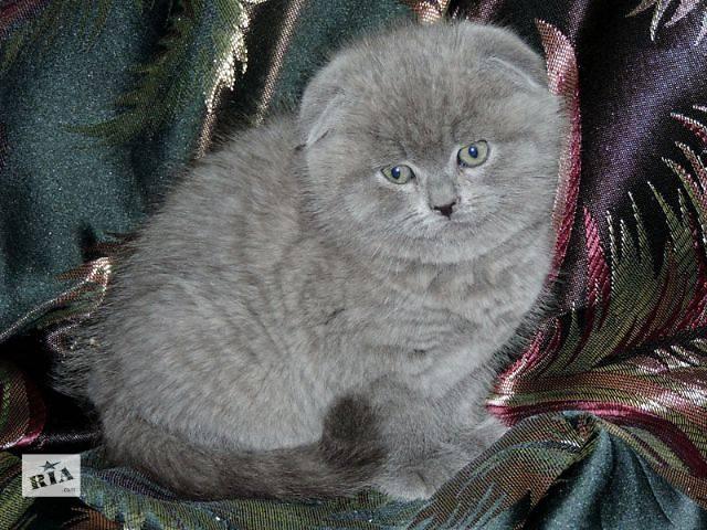 бу Вислоухие котята в Донецке. в Донецке