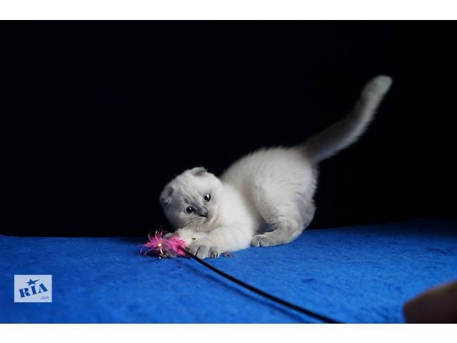 продам Вислоухий колорный котенок бу в Днепре (Днепропетровске)