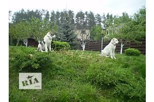 Высокопородные щенки Алабая(Среднеазиатская Овчарка). Предки  чемпионы Мира и Европы