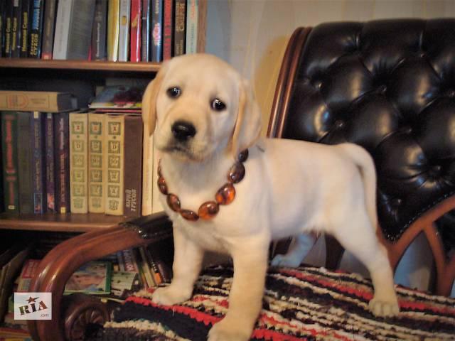 Высокопородные щенки лабрадора-ретривера- объявление о продаже  в Полтаве