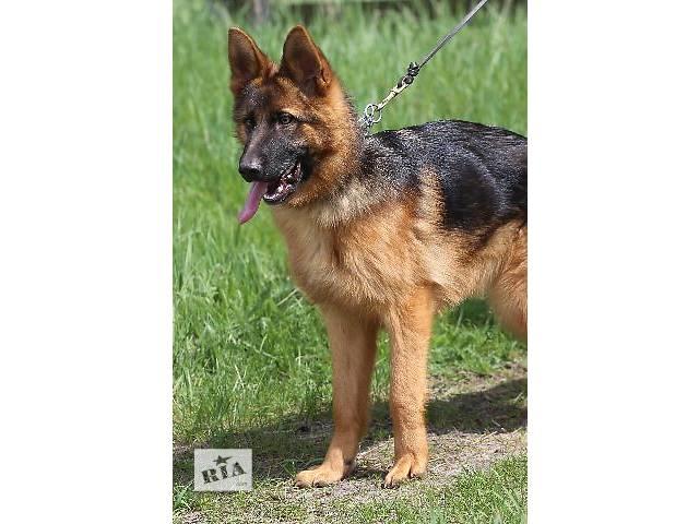 купить бу Высокопородные щенки немецкой овчарки от Чемпионов! в Днепре (Днепропетровск)