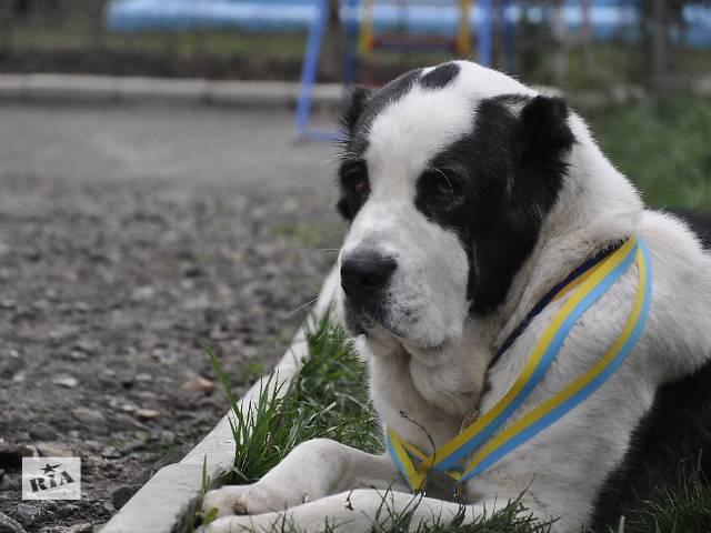 продам Высокопородные щенки САО - Алабайчики девочки и мальчики бу в Харькове