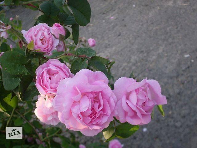 купить бу Высушенные лепестки розы для чая в Николаеве
