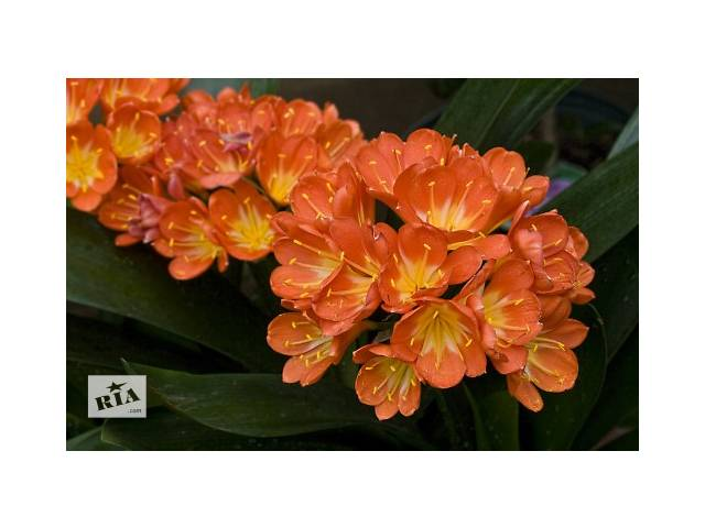 купить бу взрослая роскошная кливия, цветущая каждый год в Харькове
