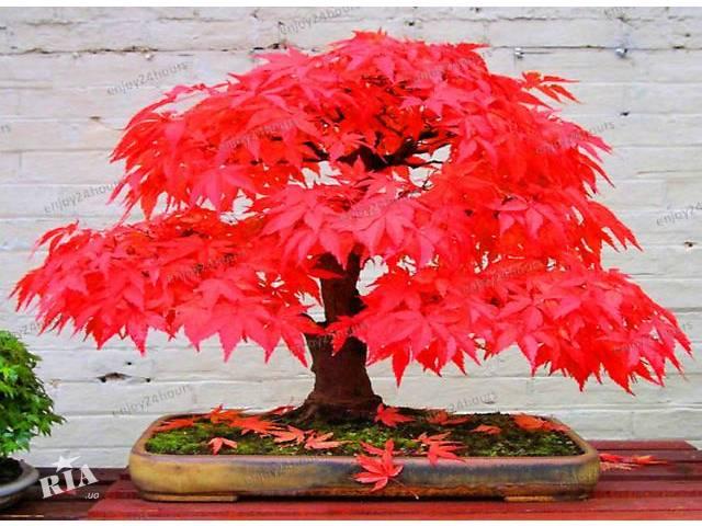 Выращивание красного клена в домашних условиях