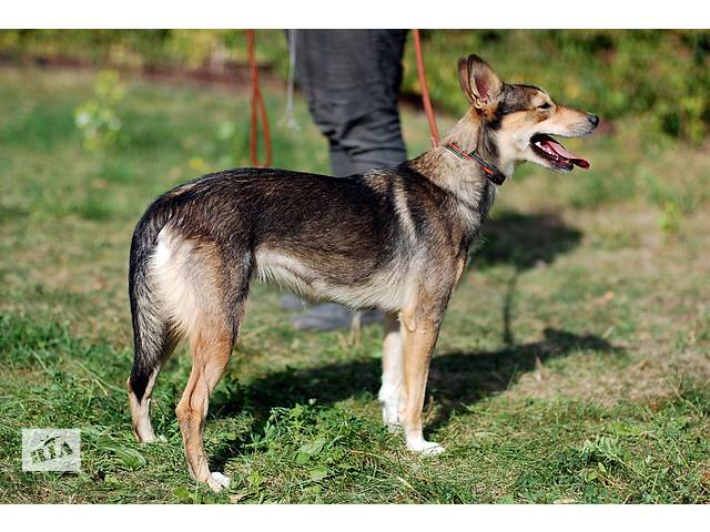 продам Ильда, небольшая собачка, стерилизована. бу в Киеве