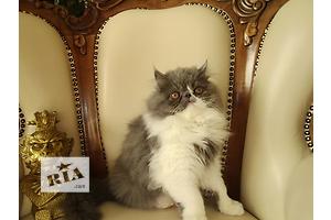 Импозантный персидский котик Тимоти с чудесным характером