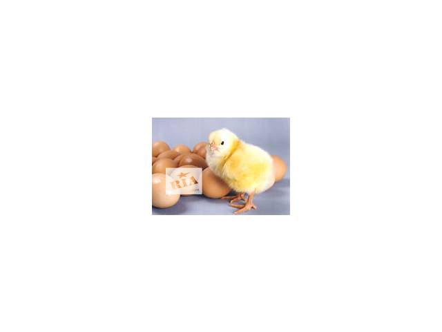 купить бу Инкубационное яйцо бройлера КОББ-500 в Дружковке