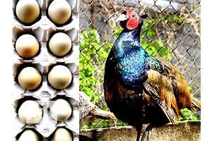 Инкубационные яйца охотничьих и румынских фазанов