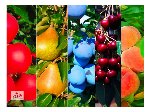 продам Мы выращиваем саженцы  плодово-ягодных культур яблоня груша слива персик черешня крыжовник  ! Большой выбор сортов. бу в Днепре (Днепропетровске)