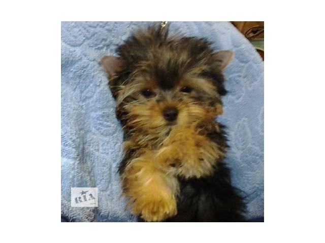 купить бу Йоркширский терьер щенок мальчик в Николаеве