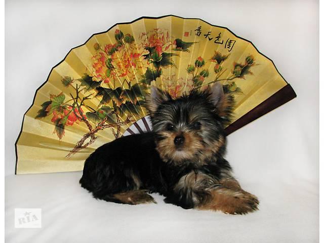 купить бу Йоркширскийо терьер собака компаньон от Бога в Харькове