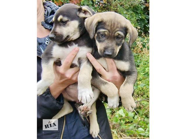Ищут дом щенки от отца – метиса овчарки. - объявление о продаже  в Днепре (Днепропетровск)