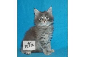 Замечательные котята мейн-кун из питомника