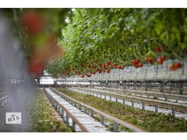 бу Сбор помидоров постоянно и временно работа в Польше  в Украине