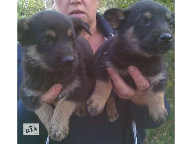 Здоровые щеночки ищут дом- объявление о продаже  в Киеве