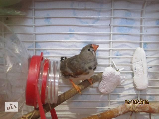 купить бу зебровая амадина в Черноморске (Ильичевск)