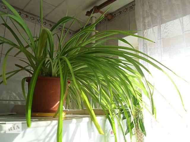 бу Живой фильтр - комнатное растение Хлорофитум.Могу обменять на Антриум Андре,Антриум Шерцера,спатифилум,араукарию. в Днепре (Днепропетровск)