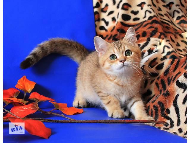 продам Золотой британчик -  котик  бу в Донецке