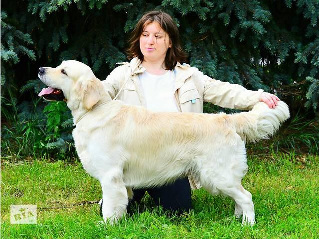 продам Золотистый голден ретривер для вязки, для случки, золотистый голден ретривер, вязка, возможно за щенка. бу в Киеве