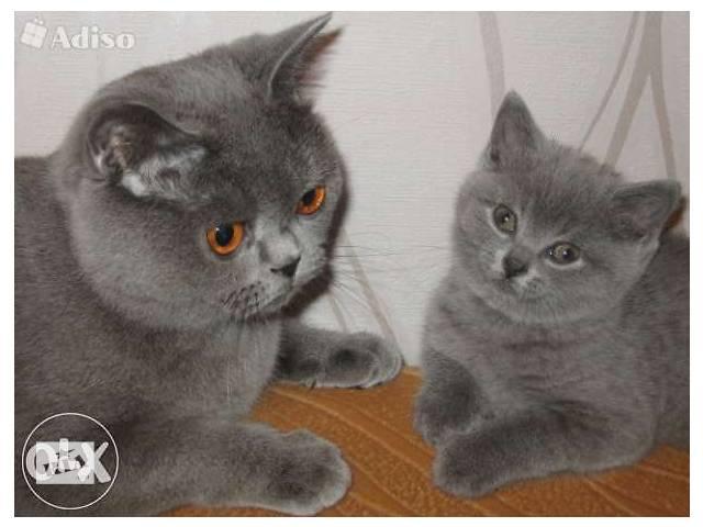 Британский котенок голубого окраса