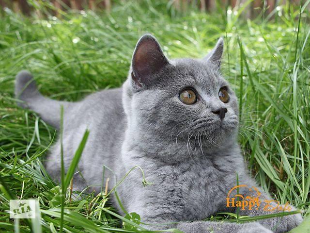 мальчик Британская кошка Британская короткошерстная